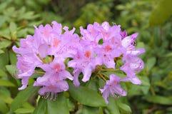 Rododendro violeta Fotos de Stock Royalty Free