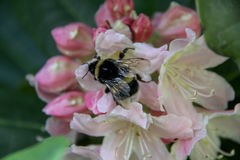 Rododendro y abeja Fotografía de archivo libre de regalías