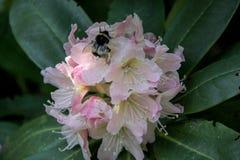 Rododendro y abeja Foto de archivo