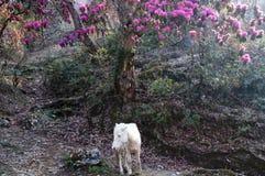 Rododendro y caballo - Nepal imágenes de archivo libres de regalías
