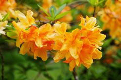 Rododendronów kwiaty Obrazy Royalty Free