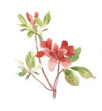 Rododendron Royalty-vrije Stock Foto