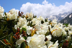 Rododendron Royalty Free Stock Photos