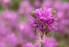 Rododendron Royalty-vrije Stock Afbeeldingen