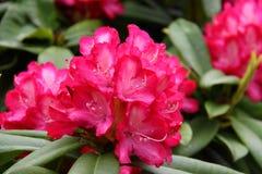 rododendron Stock Afbeeldingen