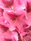 Rododendron; Stock Afbeeldingen
