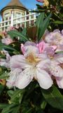 rododendron Royalty-vrije Stock Afbeelding