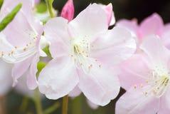 Rododendron Stock Foto