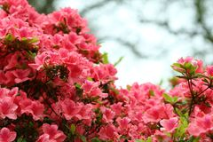 Free Rododendron Stock Photo - 836630