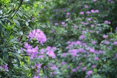 Rododendron Royalty Free Stock Images