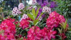 Rododendron blüht Blütengartenparkfeder Stockfotografie