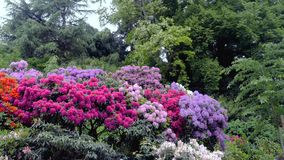 Rododendron blüht Blütengartenparkfeder Stockfotos