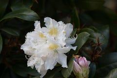 Rododendron ` Cunningham ` s Witte ` Stock Afbeeldingen