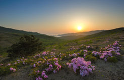 Rododendron die op de kust op de zonsondergang bloeien Stock Fotografie