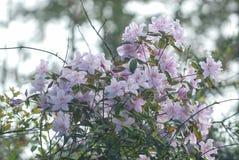 Rododendron met clusters van clusters van bloemen royalty-vrije stock afbeeldingen