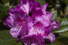 Rododendron na regen royalty-vrije stock afbeeldingen