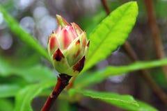 Rododendron occidentale (Westelijke Azalea) Stock Afbeelding