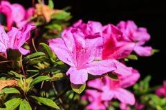 Rododendron roze bloem Stock Foto
