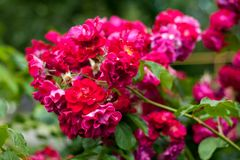 Rododendron - roze bloemen Mooie close-up artistieke foto De heldere achtergrond van de lente Stock Afbeelding