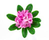 Rododendronbloei Stock Foto