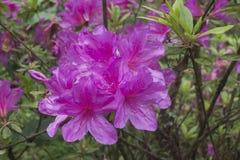 Rododendronbloei in biologisch park dichtbij Temi-theelandgoed, Sikkim, India stock afbeelding