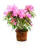 Rododendronbloemen Royalty-vrije Stock Afbeelding