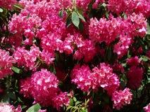 Rododendronbloemen Royalty-vrije Stock Fotografie