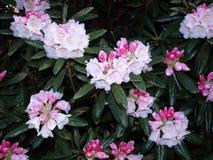 Rododendronbloemen Stock Fotografie