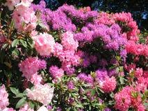 Rododendronbloemen in volledige bloei Royalty-vrije Stock Afbeeldingen