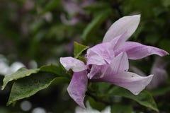 Rododendronbloemen in volledige bloei Royalty-vrije Stock Foto
