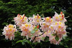 Rododendronbloemen in volledige bloei Royalty-vrije Stock Foto's