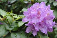 Rododendronbloemen in volledige bloei Stock Foto's