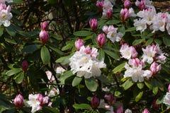 Rododendronbloesem Royalty-vrije Stock Afbeeldingen