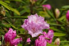 Rododendronbloesem Royalty-vrije Stock Fotografie