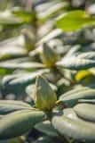 Rododendronknop van het sluiten royalty-vrije stock afbeelding