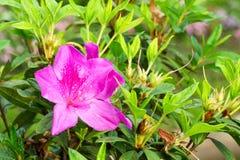 Rododendronowa kwiat głowa, azalie lub Obrazy Stock