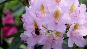 Rododendronowa piękna kwiatu i bumblebee pszczoła zbiory wideo
