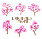 Rododendronowy adamsii sagan-dali, labrador herbaty krzaka akwareli ilustracja Fotografia Stock