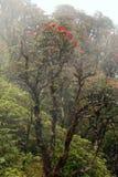Rododendronowy Arboreum okwitnięcie w mgle Fotografia Stock