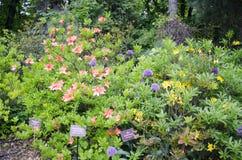 Rododendronowy japończyk Zdjęcie Royalty Free
