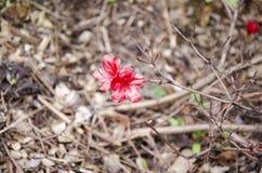 Rododendronowy japończyk Fotografia Stock