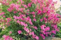 Rododendronowy krzak zdjęcia royalty free