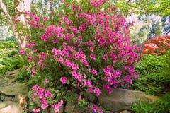 Rododendronowy krzak fotografia royalty free