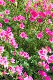 Rododendronowy krzak obrazy stock