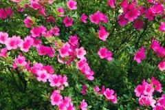 Rododendronowy krzak zdjęcie royalty free
