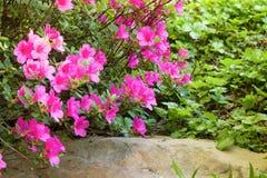 Rododendronowy krzak obraz royalty free