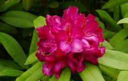 Rododendronowy kwiat krzak który Kwitnie Maja Czerwiec Zdjęcia Royalty Free