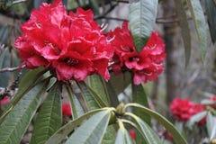 Rododendronowy kwiat w himalaje górach Zdjęcie Stock
