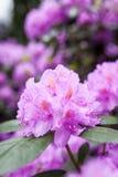 Rododendronowy kwiatu krzaka kwitnienie Fotografia Royalty Free