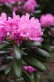 Rododendronowy kwiatu krzaka kwitnienie Obraz Stock